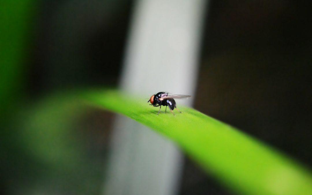 Was tun gegen Fruchtfliegen?